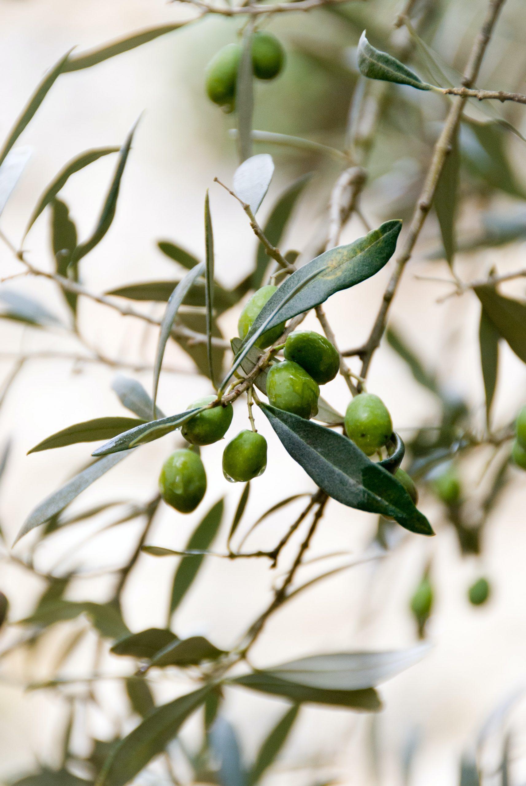 Domaine de Segermès - des huiles d'olive d'exception - 39